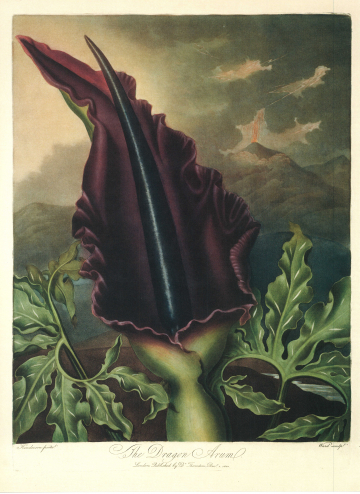 THE DRAGON ARUM